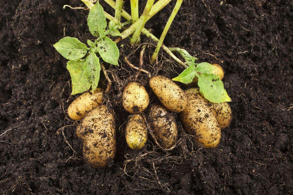 Pomme de terre ratte culture plantation cuisine ooreka - Recolte des pommes de terre ...