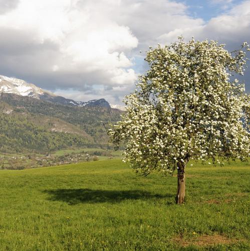 Arbre fleurs blanches liste ooreka - L arbre le pommier ...
