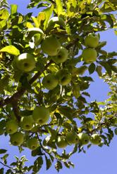 Faire pousser un pommier avec des pépins de pomme
