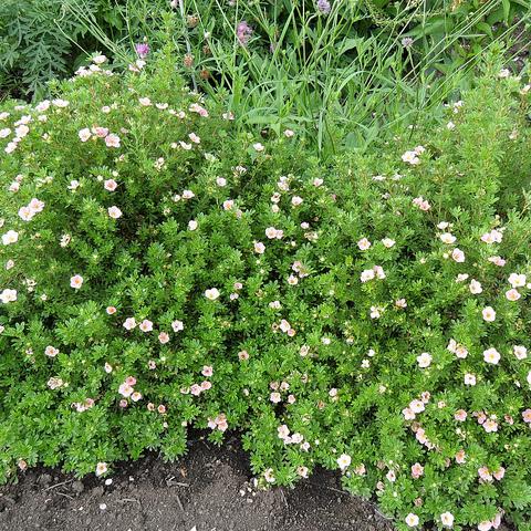 Arbuste fleurs roses liste ooreka - Polygala myrtifolia feuilles jaunes ...