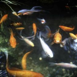 Poisson rouge aquarium ses besoins comprendrechoisir for Poisson rouge vacances nourriture