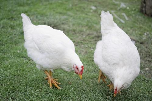 Poule de bresse particularit s et prix de la poule de bresse - Image de la poule ...