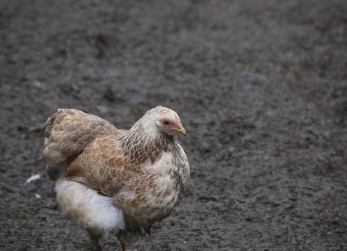 Poule naine particularit s races et prix de la poule naine for Prix d une poule