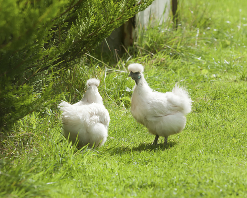 Poule d 39 ornement crit res races et prix de la poule d - Image de poule ...