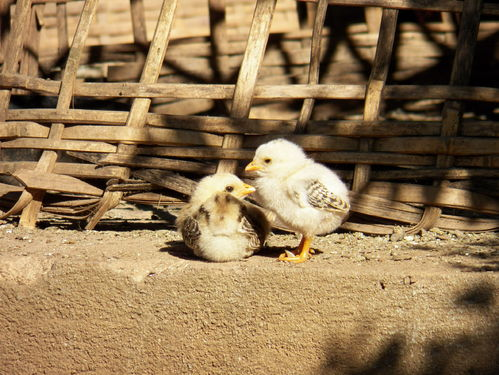 La couvaison naturelle et la naissance des poussins