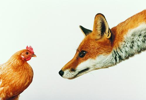 Les prédateurs des poules