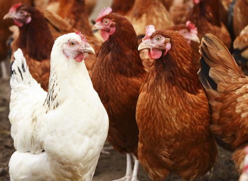 Prix d 39 une poule tableaux et crit res de prix d 39 une poule for Prix d une poule rousse