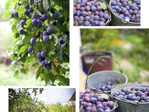 Pollinisation des arbres fruitiers ooreka - Comment planter un cerisier ...