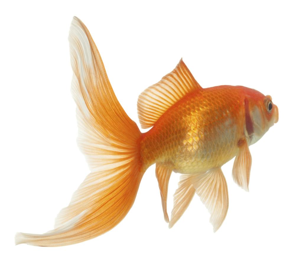 Des poissons dans une piscine naturelle for Construire une piscine naturelle