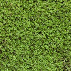 remplacer le gazon par des plantes couvre sol pouvant tre pi tin es. Black Bedroom Furniture Sets. Home Design Ideas