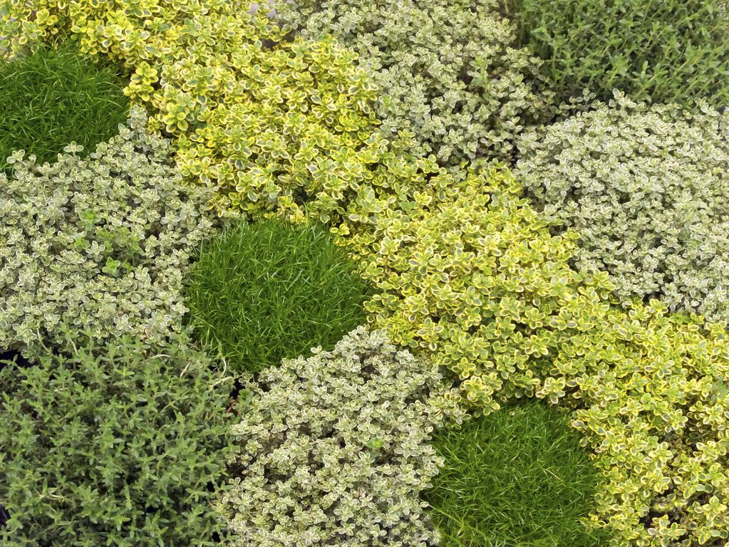 clés pour réussir un gazon de plantes couvre-sol