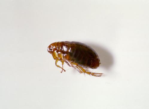 insecte puce sur une table