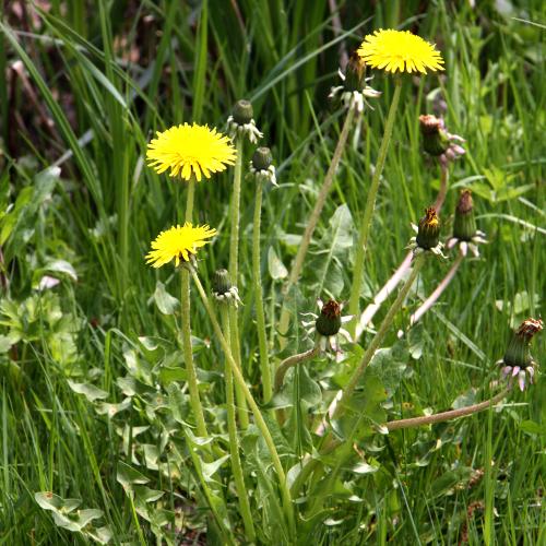Assez Éliminer les mauvaises herbes à racine pivotante - Jardinage NH21