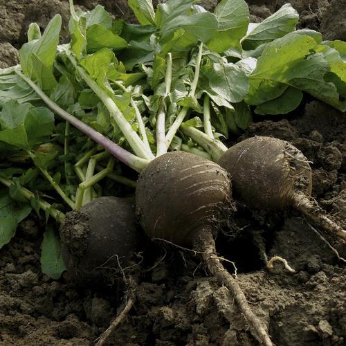 quels légumes planter en juillet ? - ooreka