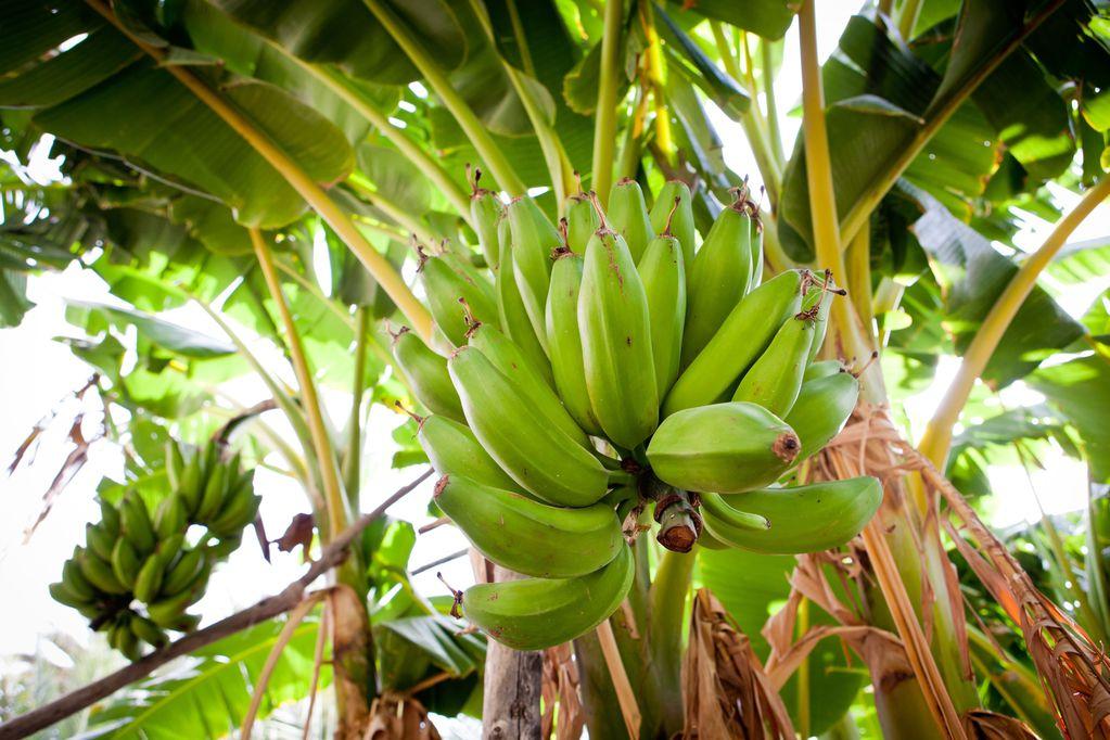Bananier d\'ornement : définition, entretien du bananier - Ooreka