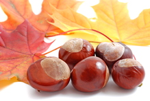 Marrons et feuilles de marronnier