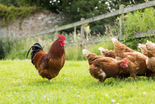 Reproduction poule conseils et fonctionnement de la reproduction - Image d une poule ...