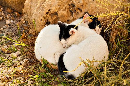 Reproduction du chat