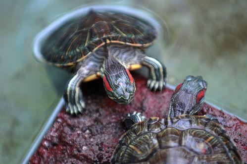 Reproduction de la tortue aquatique ooreka for Aquarium tortue aquatique