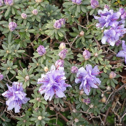 arbuste fleurs bleues liste ooreka. Black Bedroom Furniture Sets. Home Design Ideas