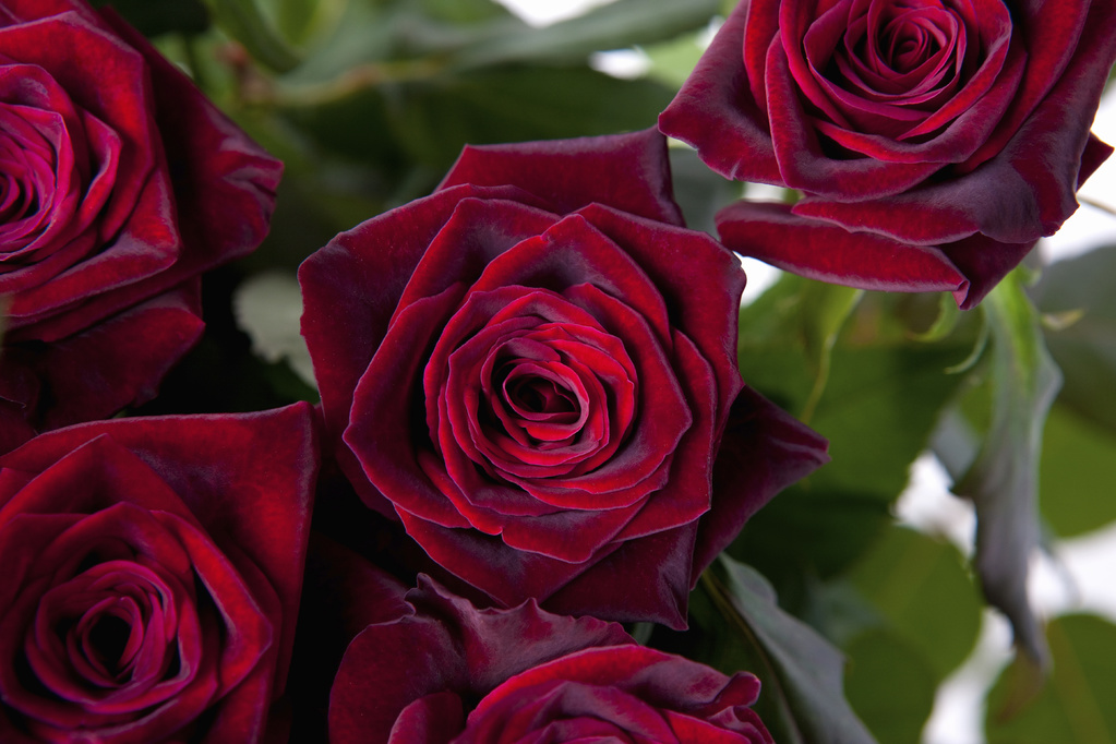 Rosier Black Baccara Plantation Taille Conseils Ooreka