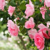 Traiter les rosiers naturellement jardinage - Rouille rosier traitement naturel ...