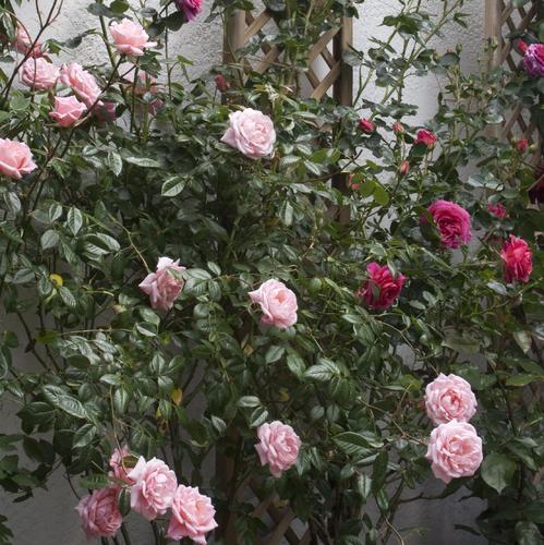 Arbuste grimpant liste ooreka - Support rosier grimpant ...