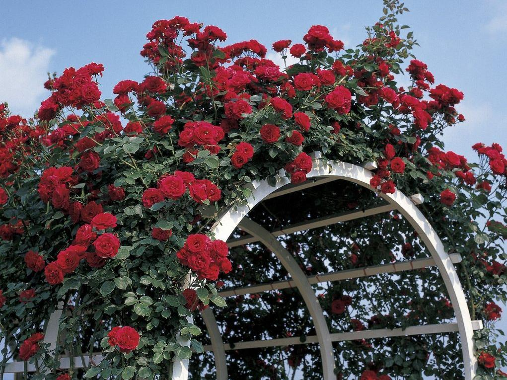 plante grimpante rosier