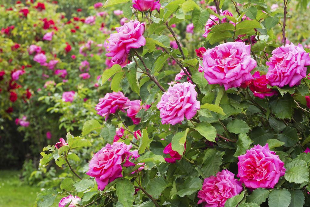 Terreau de bouturage utilisation et avantages ooreka for Jardin roses