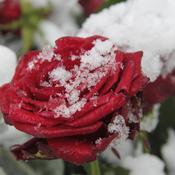 Protéger les rosiers en hiver