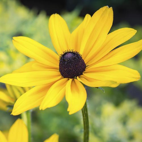 Plante fleurs jaunes liste ooreka - Fleur au coeur noir ...