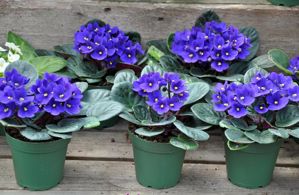 Violette africaine origine caract ristiques culture for Violette africane