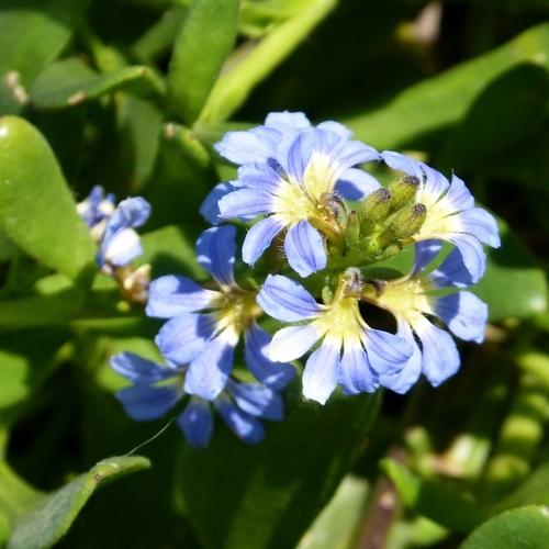 Plante fleurs bleues liste ooreka - Plante grimpante fleur bleue ...