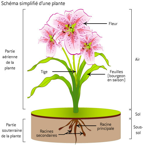 schema simplifie d'une plante