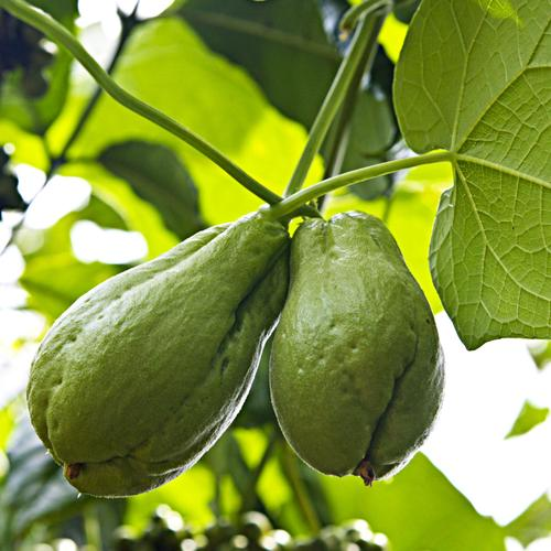 Plante grimpante vivace liste ooreka for Liste plantes