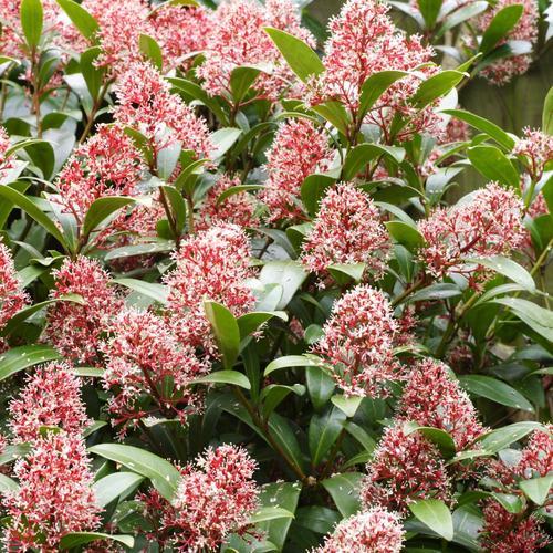Plante vivace d 39 ombre liste ooreka - Arbuste persistant soleil ...