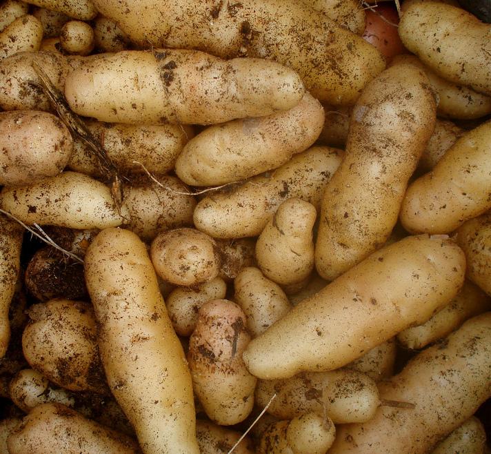 Les l gumes planter mi ombre ooreka - Pomme de terre germee comestible ...