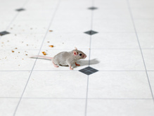 Anti souris