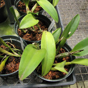 que faire si les feuilles d 39 une orchid e jaunissent ooreka. Black Bedroom Furniture Sets. Home Design Ideas