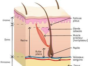 Pilosité : racine du poil, follicule pileux, glande sébacée, muscle horripilateur, bulbe pilaire