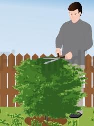 Comment tailler son arbre en cone?