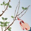 Abricotier planter et tailler ooreka - Taille de l abricotier ...