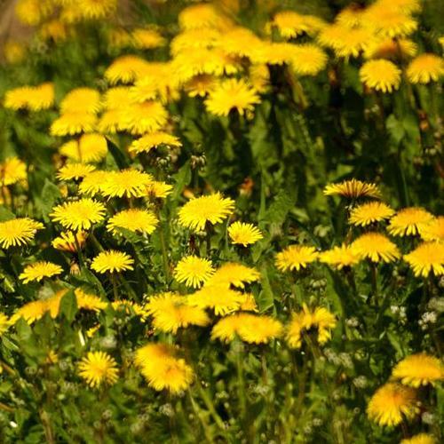 Plante jaune liste ooreka for Plante jaune