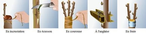 Porte-greffe incrustation écusson couronne anglaise fente