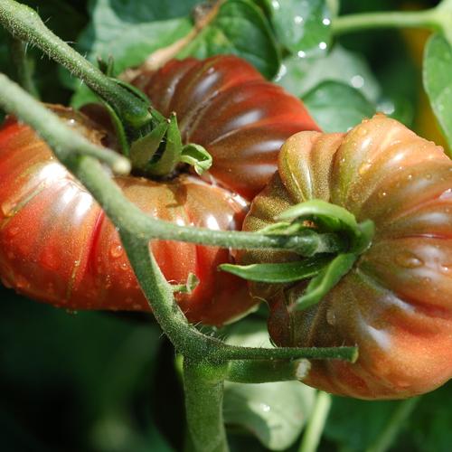 Éviter l'éclatement des fruits