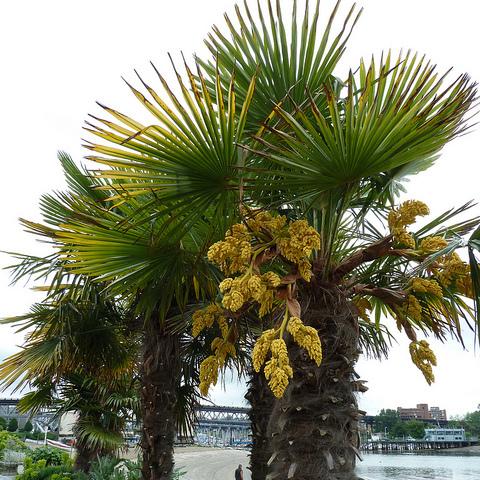 Palmier rustique liste ooreka - Image palmier ...