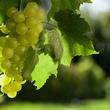 Réussir une bouture de vigne