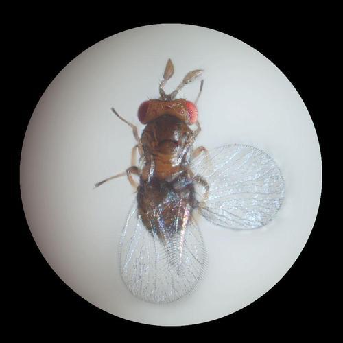 Les micro-hyménoptères antimites