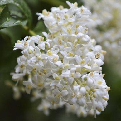 Arbre A Fleurs Blanches Liste Ooreka