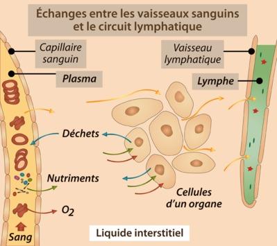 traitement circulation sanguine et lymphatique